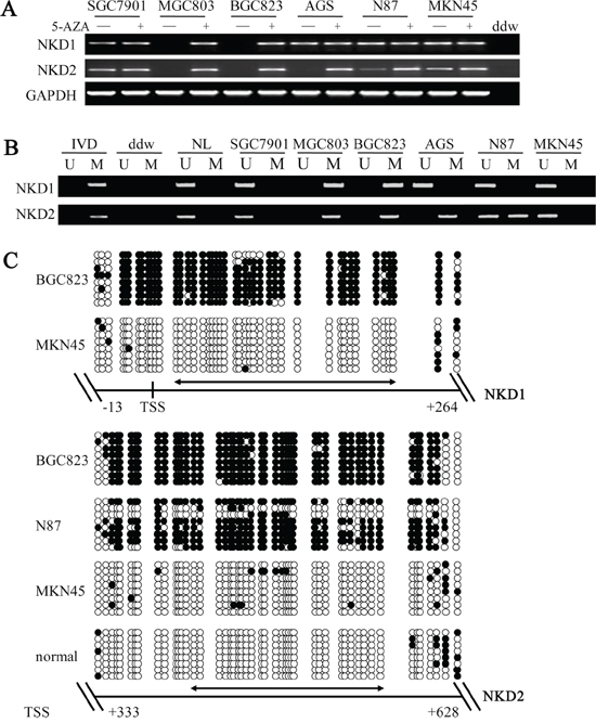 The expression of NKD1 and NKD2 and their methylation status in human gastric cancer cells.