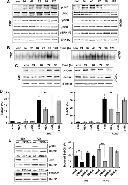 TMZ- and ACNU-induced activation of AP-1 and impact on sensitivity.