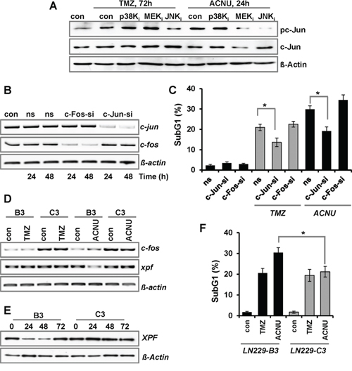 Impact of c-Jun and c-Fos on TMZ- and ACNU-induced cell death.