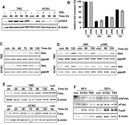 Impact of MAPK-signaling on DNA repair and expression of FasL.