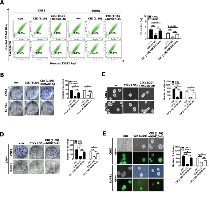 Blocking of NKG2D with antibody significantly reduced tumor killing activity of CIK cells against putative CSCs.