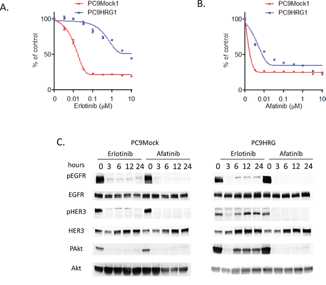 Heregulin-overexpressing NSCLC cell line PC9HRG cells are resistant to erlotinib, but sensitive to afatinib.