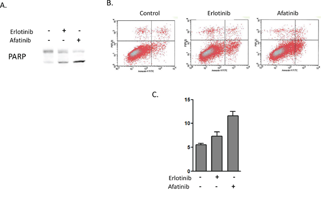 Afatinib induces higher levels of apoptosis in heregulin-overexpressing NSCLCs than does erlotinib.