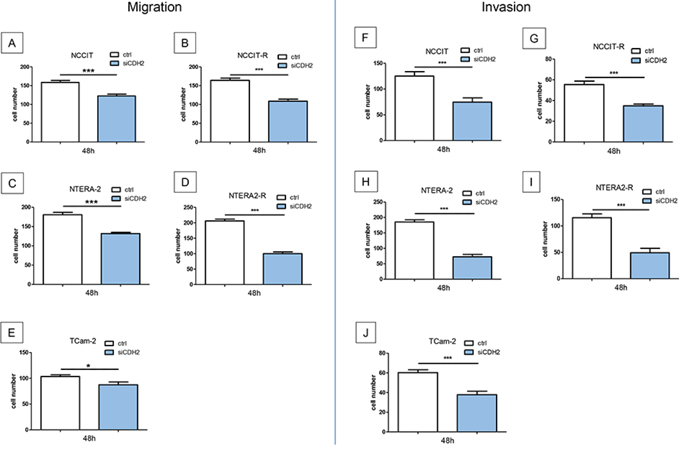 Migration and invasion is significantly reduced after treatment with a siRNA against CDH2 for 48 hours.