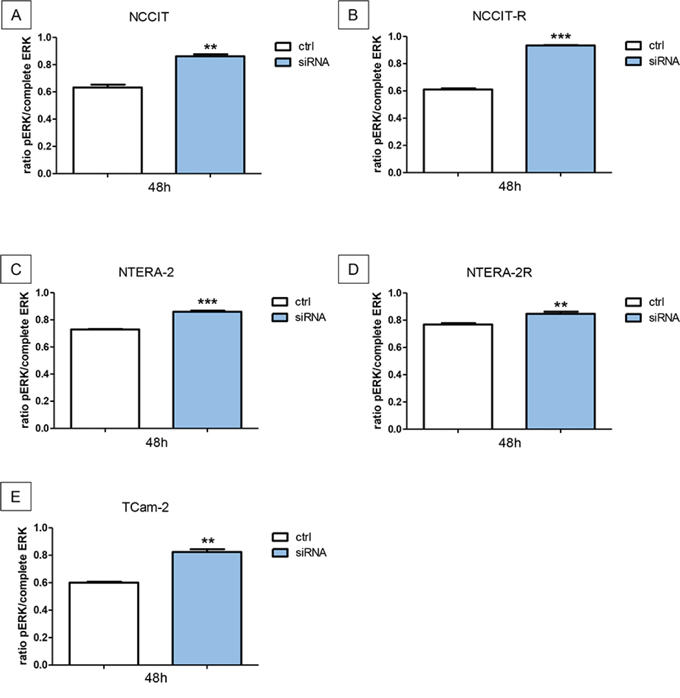 Downregulation of N-cadherin leads to significant higher levels of pERK.