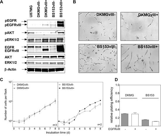Impact of EGFRvIII expression on EGFR downstream signaling, proliferation and clonogenicity.