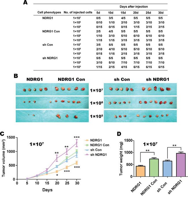 HT29 cells over-expressing NDRG1 are less tumorigenic in vivo in nude mice.