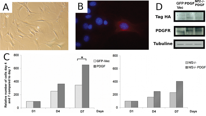 Effect of oncogenic stimulation by platelet-derived growth factor B (PDGF-B) on proliferation of arachnoidal cells in culture alone or in combination with Nf2 inactivation.