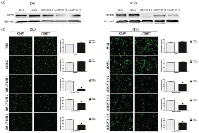 Inhibition of hTERT promoter-driven green fluorescent protein (GFP) expression by SUPT5H-specfic shRNA.