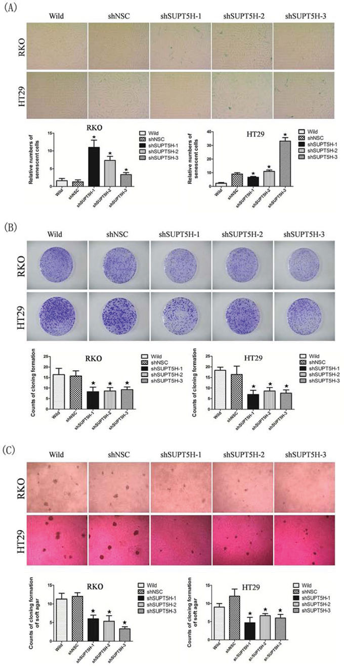 Inhibition of SUPT5H expression promoted cell senescence in colon cancer cells and suppressed cancer cell growth.