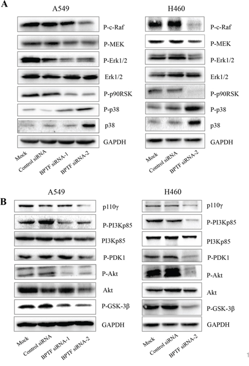 Knockdown of BPTF suppressed MAPK and PI3K-AKT signaling pathways.