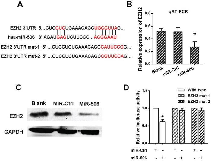 miR-506 down-regulated EZH2 expression by directly targeting its 3′-UTR.