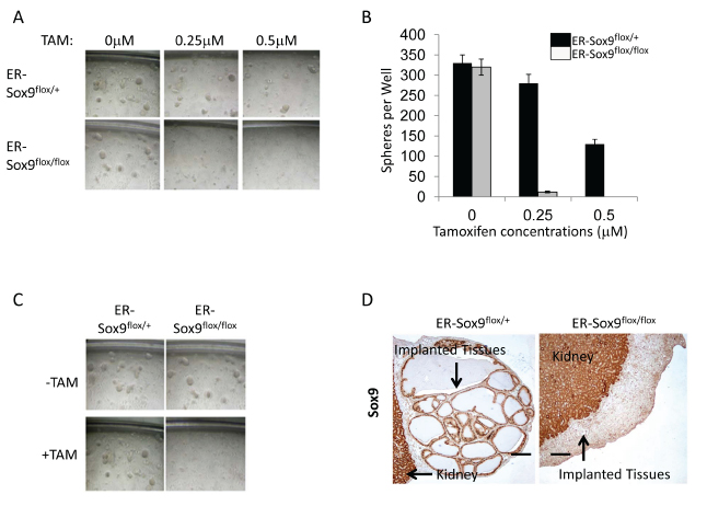 Sox9 is required for prostasphere formation, self-renewal in vitro, and regeneration in vivo.