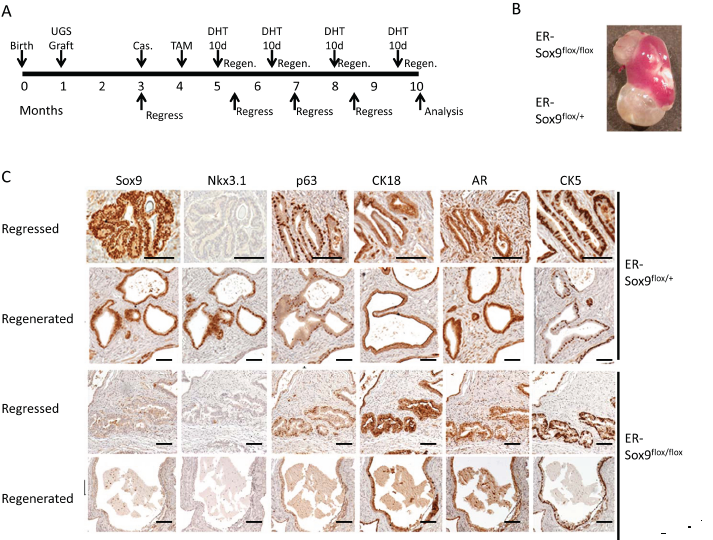 Sox9 is dispensable for adult prostate regeneration.