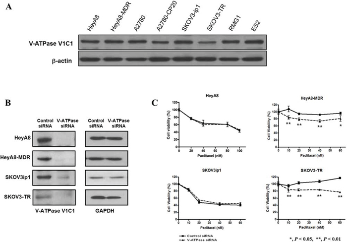 Western blot analysis for protein expression of V-ATPase in epithelial ovarian cancer cell lines and the effects of V-ATPase specific siRNA on cytotoxicity of paclitaxel in epithelial ovarian cancer cell lines.