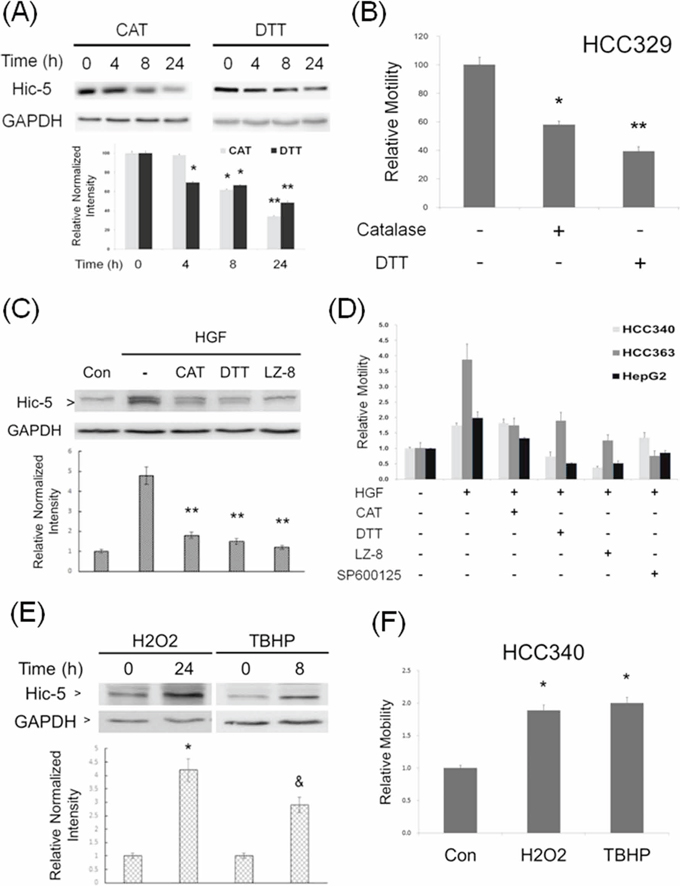 ROS is essential for constitutive and HGF-induced Hic-5 expression and HCC migration.