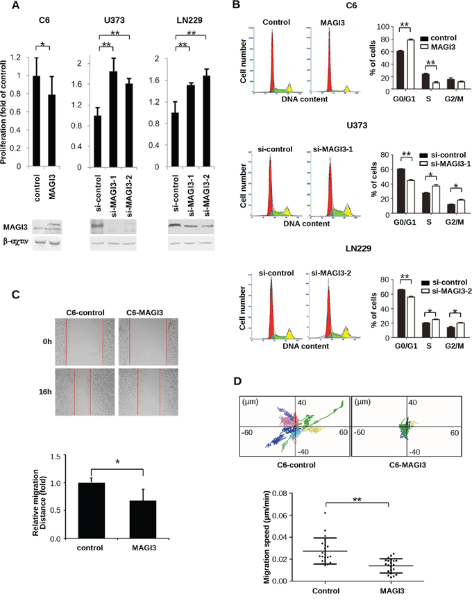 MAGI3 reduces cell proliferation, arrests the cell cycle, and inhibits the migration of glioma cells.