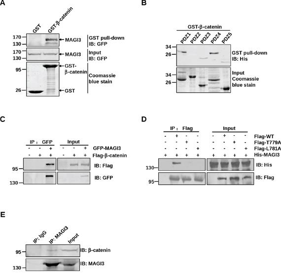 MAGI3 interacts with β-catenin via its PDZ domains and PDZ-binding motif of β-catenin.