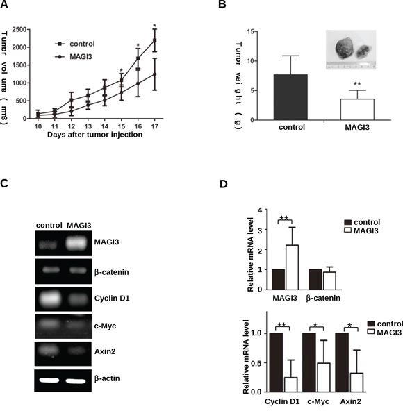 MAGI3 inhibits C6 glioma cell growth and β-catenin target gene expression in xenograft tumors.