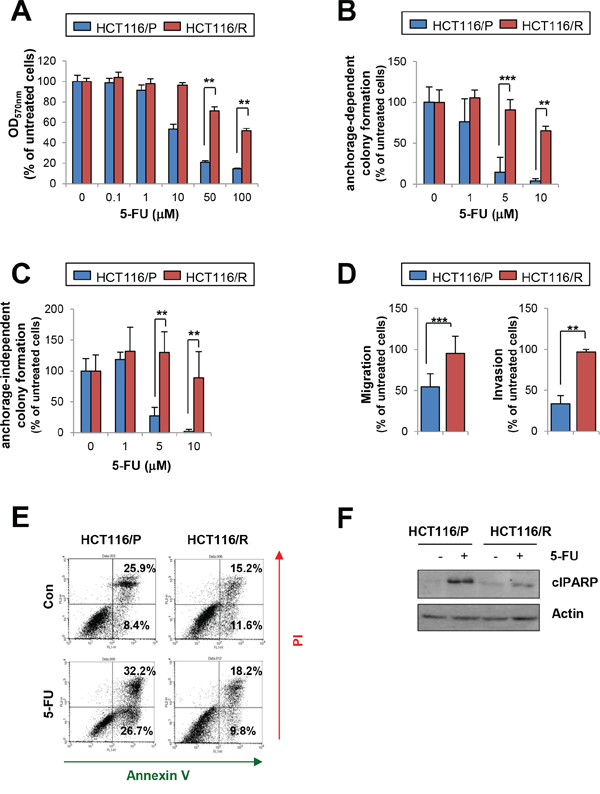 Effects of 5-FU on HCT116/P and HCT116/R cells.