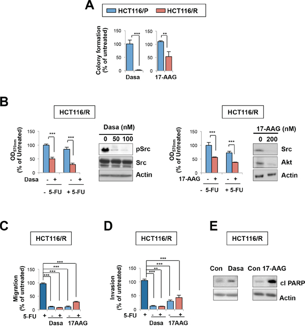 HSP90 or Src blockade suppresses growth, migration, and invasion of 5-FU resistant cells.
