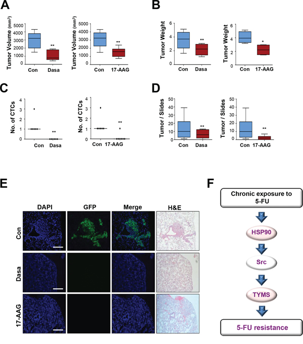 HSP90 or Src inhibition decreases primary tumor growth, the number of circulating tumor cells, and lung metastasis.