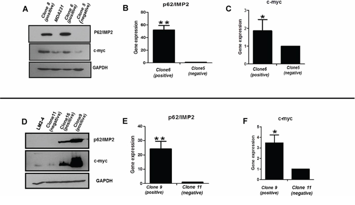 Expression of c-myc protein is increased with the overexpression of p62/IMP2.