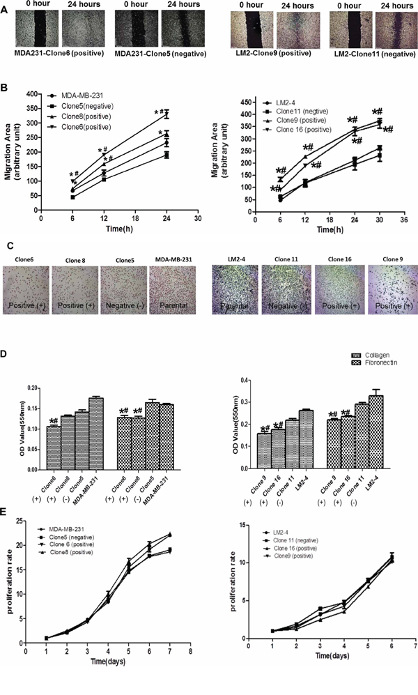 The impact of p62/IMP2 on breast cancer cells.