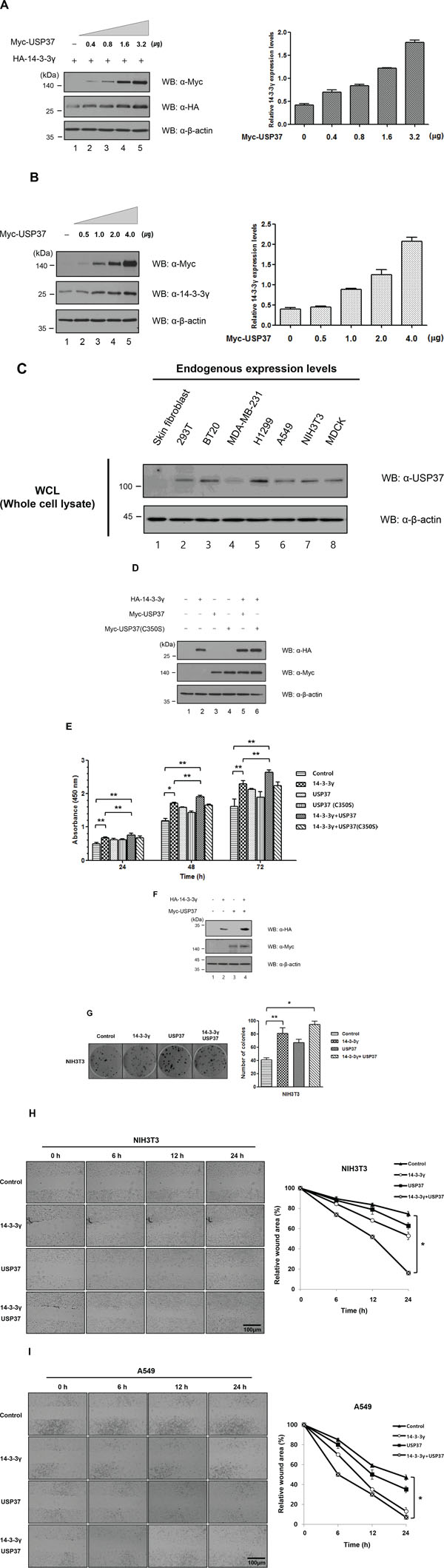 USP37 promoted cell viability and proliferation by stabilizing 14-3-3γ.