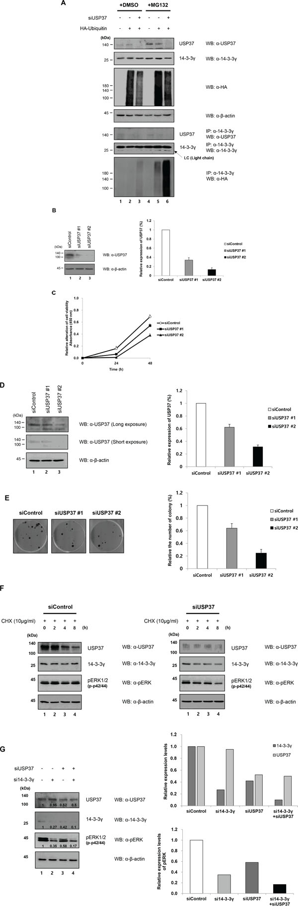 Knock-down effect of USP37 in cancer cells.