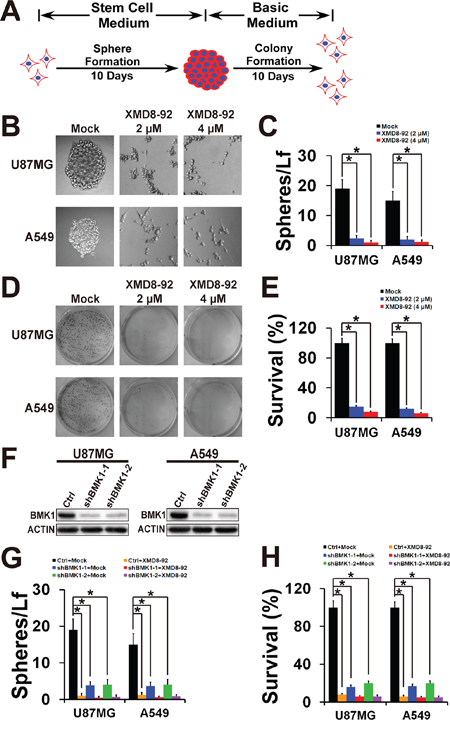 Inhibition of BMK1 effectively suppressed the self-renew and proliferation of cancer stem cells.