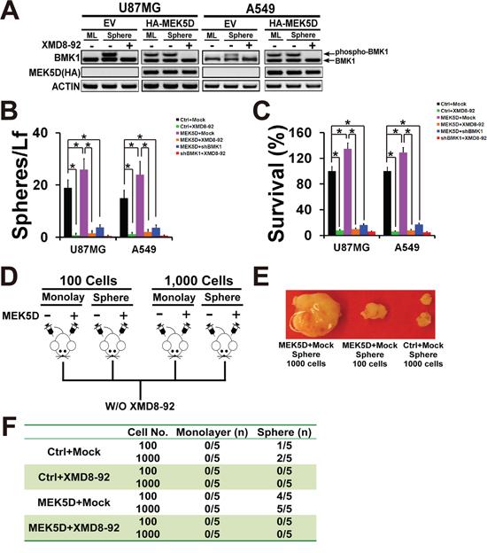 Phosphorylation of BMK1 promoted cancer stem cells.