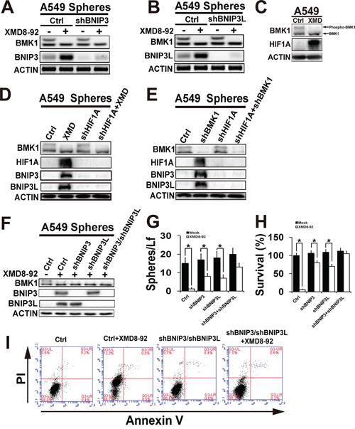 Inhibition of BMK1 pathway suppressed cancer stem cells through BNIP3 and BNIP3L.