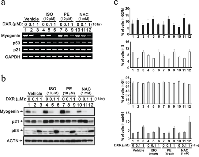 The protective effects of cardio-protective drugs were evaluated in DXR-treated H9c2 cells.