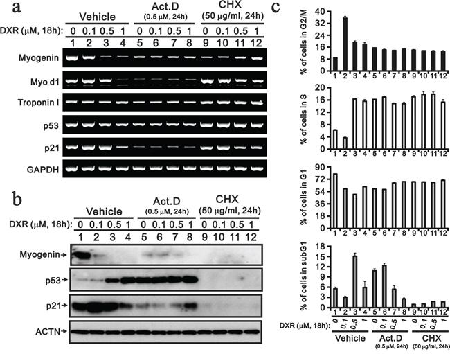 Act D and CHX prevent the DXR-induced decrease myogenin.