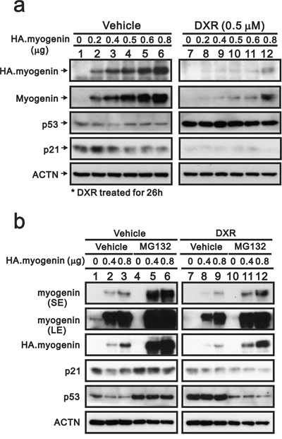 MG132 prevents the decrease of myogenin induced by DXR in H9c2 cells.