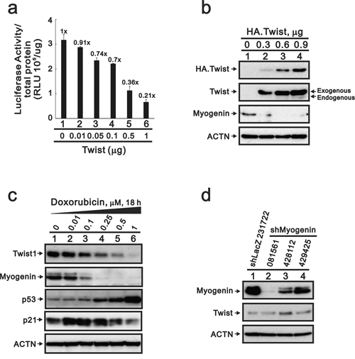 The suppression of myogenin expression by Twist does not occur in DXR-treated H9c2 cells.