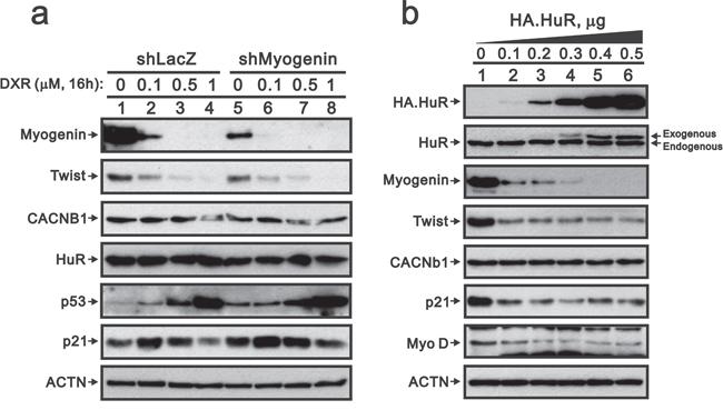 Overexpressing HuR suppresses myogenin, Twist, p21 and MyoD in H9c2 cells.