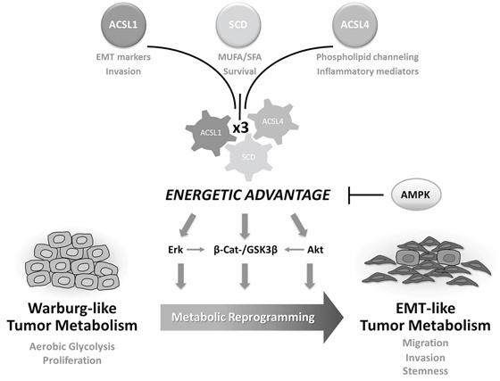 ACSL/SCD-mediated tumor metabolic reprogramming.