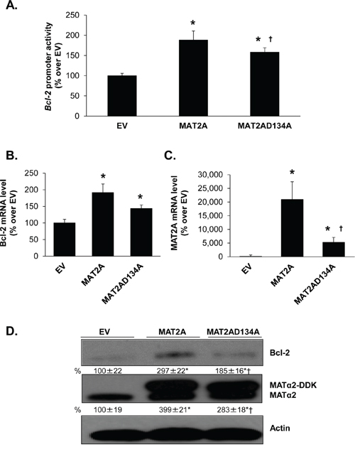 Effect of overexpressing MATα2 catalytic mutant on Bcl-2 promoter activity and expression.
