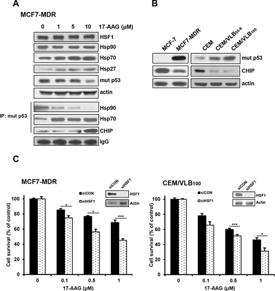 17-AAG-mediated activation of HSF1/Hsps in MDR cells and enhanced cytotoxicity of MDR cells to 17-AAG by HSF1 inhibition.