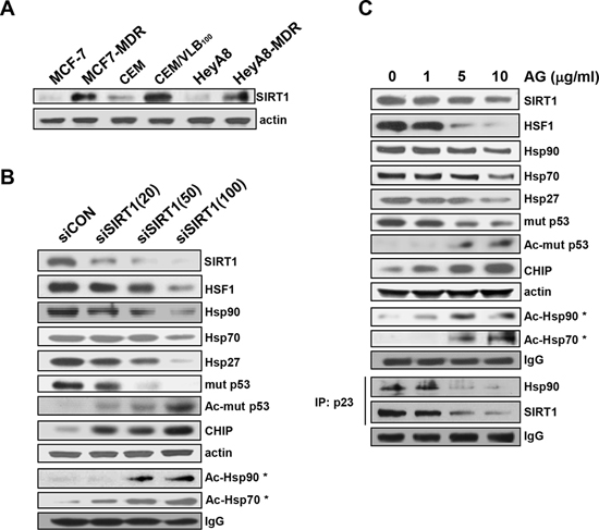 Down-regulation of HSF1/Hsps and mut p53 and decreased formation of Hsp90 chaperone complex by SIRT1 inhibition.