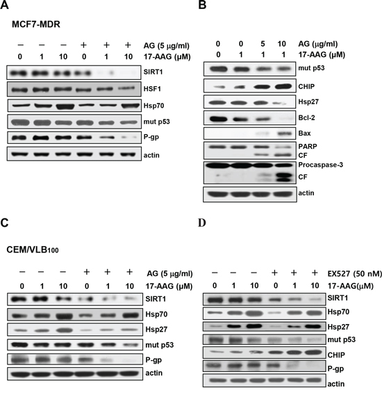 Potentiation of 17-AAG-mediated down-regulation of Hsps and mut p53/P-gp and activation of pro-apoptotic cascade by SIRT1 inhibitor.