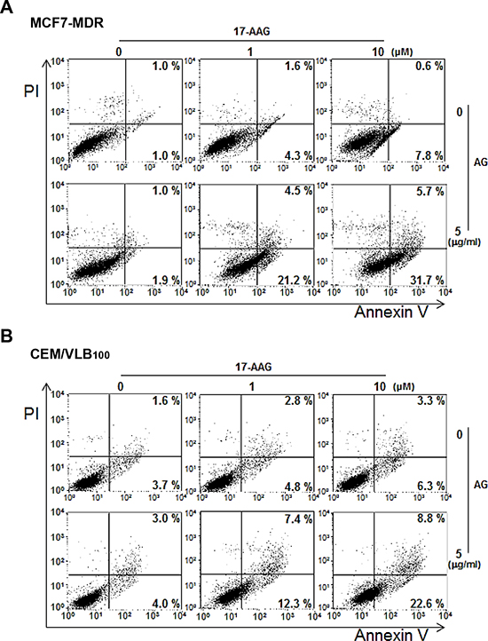 Enhanced apoptosis with combination 17-AAG/amurensin G treatment in MDR cells.