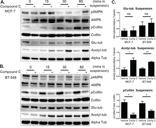 Compound c increases activated cofilin and tubulin acetylation in suspended cells.