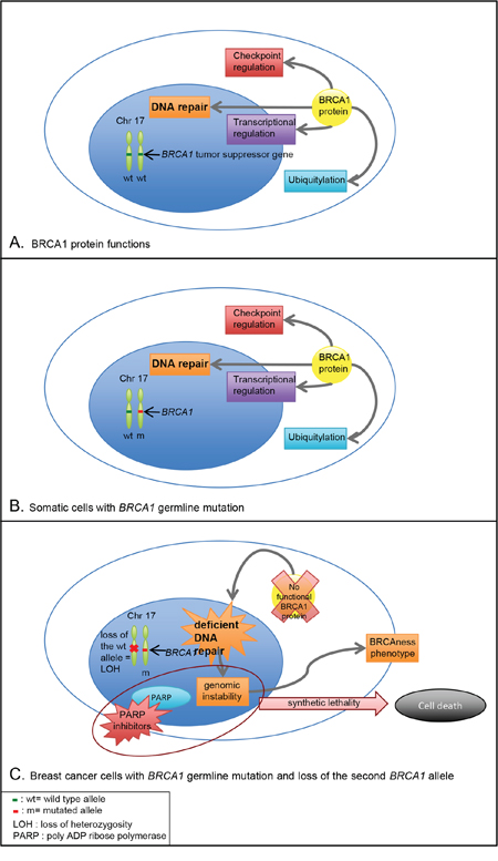 BRCA1 function and consequences of BRCA1 germline mutation in somatic cells and breast cancer cells.