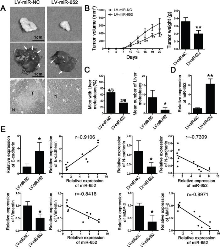 MiR-652 suppressed tumor progression and liver metastasis in vivo.