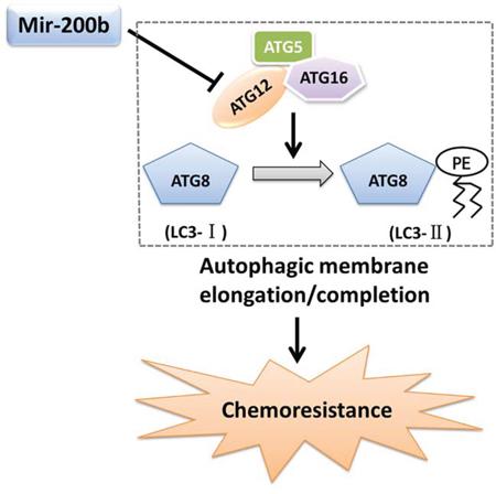 Mechanism whereby miR-200b modulates ATG12-dependent chemoresistance.