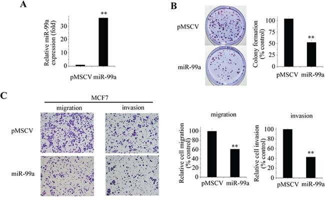 miR-99a inhibits aggressive behaviors of breast cancer cells.