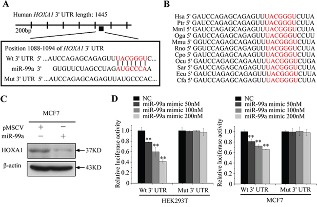 HOXA1 mRNA is a direct target of miR-99a.